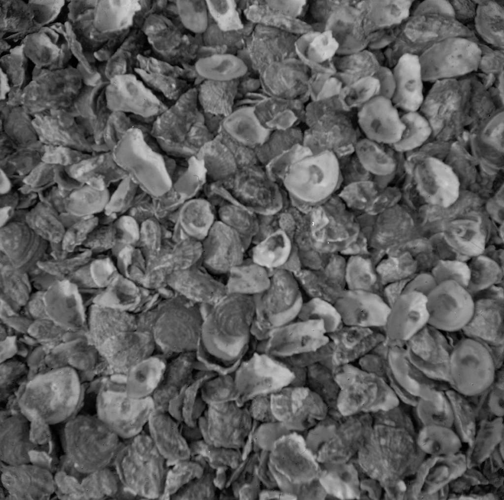 Oyster Shells, Whitstable Beach